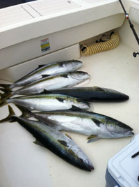 yellowtail fishing san diego
